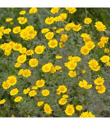 Rmen barvířský - Anthemis tinctoria - prodej semen rmenu - 0, 5 gr