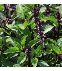 Bazalka pravá Spice - Ocimum basilicum Spice Basil - semena bazalky - 30 ks