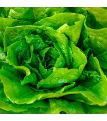 Salát hlávkový Attractie - Lactuca sativa - osivo salátu - 100 ks