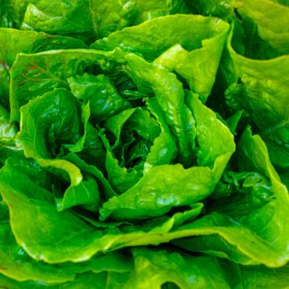 Salát hlávkový Attractie - semena salátu - osivo - 100 ks