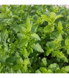 Máta klasnatá - Mentha viridis - semena máty - 25 ks