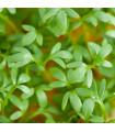 Řeřicha zahradní - Lepidium sativum - semena řeřichy - 1400 ks