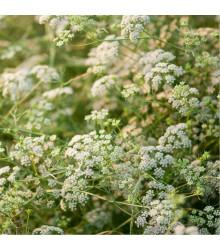 Kmín římský - Cuminum cyminum - semena kmínu - 40 ks