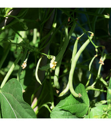 Fazol tyčkový Primel - Phaseolus vulgaris - prodej semen - 20 ks