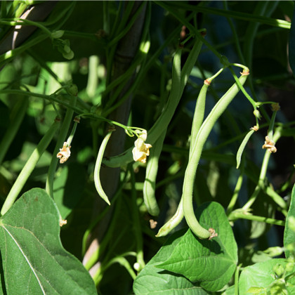 Fazol tyčkový Primel - Phaseolus vulgaris - prodej semen - 2 gr