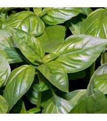 Bazalka Fino verde - Ocymum Basilicum - semena bazalky - 50 ks