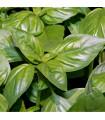 Bazalka Fino verde - bazalka do omáček - semena - 50 ks
