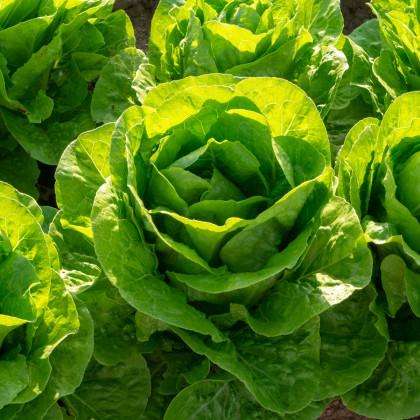Salát hlávkový Ovation - semena salátu - osivo - 0,5 gr