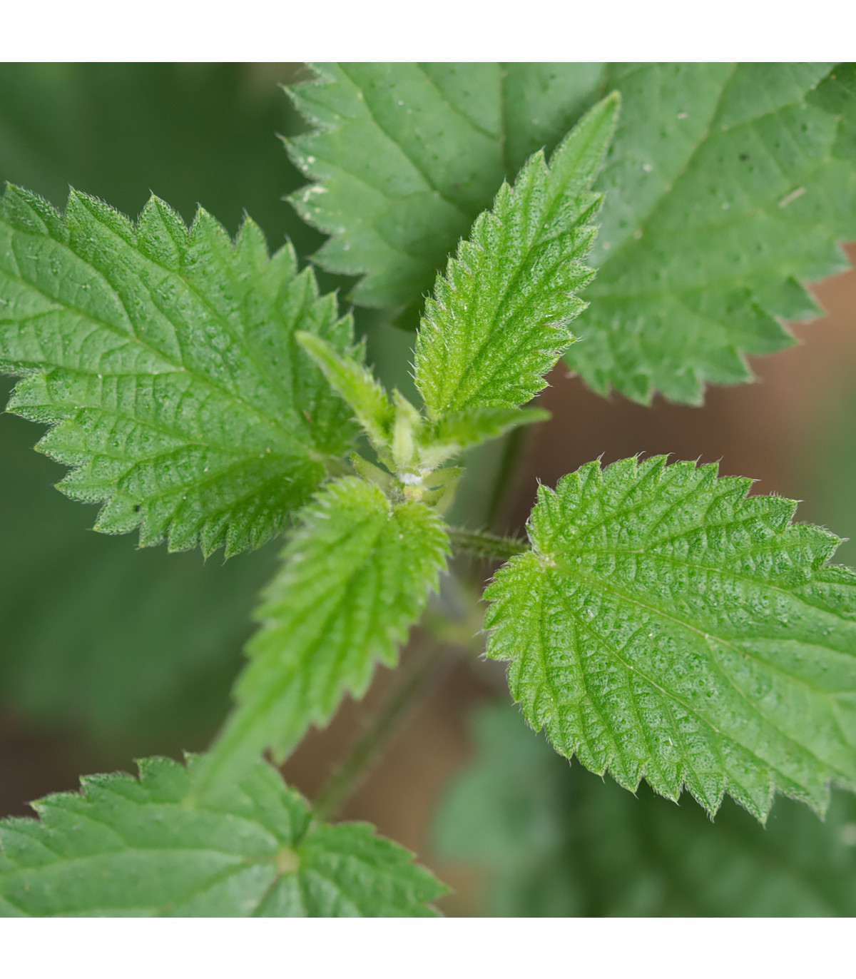 Kopřiva dvoudomá - rostlina Urtica dioica - prodej semen kopřivy - 0,5 g