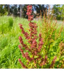 More about Šťovík kyselý - Rumex acetosa - semena šťovíku - 25 ks