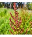 Šťovík kyselý - Rumex acetosa - prodej semen šťovíku -