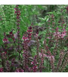 Bazalka posvátná červená Holy red - Ocimum tenuiflorum - Holy red basil - 30 ks
