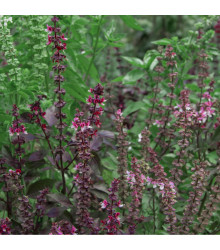 Bazalka posvátná červená Holy red - Ocimum tenuiflorum - Holy red basil - 30 ks
