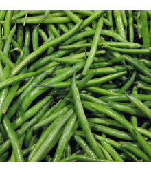 Fazol keříčkový Dublette - Phaseolus vulgaris var. nanus - semena fazolu - 20 ks
