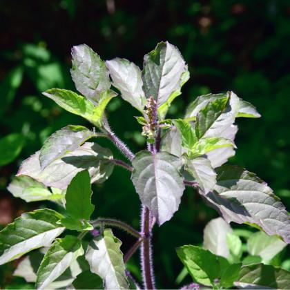 Bazalka indická Tulsi - Ocimum tenuiflorum - prodej semínek - 50 ks