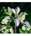 Bazalka indická Tulsi - Ocimum tenuiflorum - prodej semínek - 60 ks