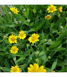 Prha léčivá - Arnika léčivá - Arnica chamissonis - semena arniky - 13 ks