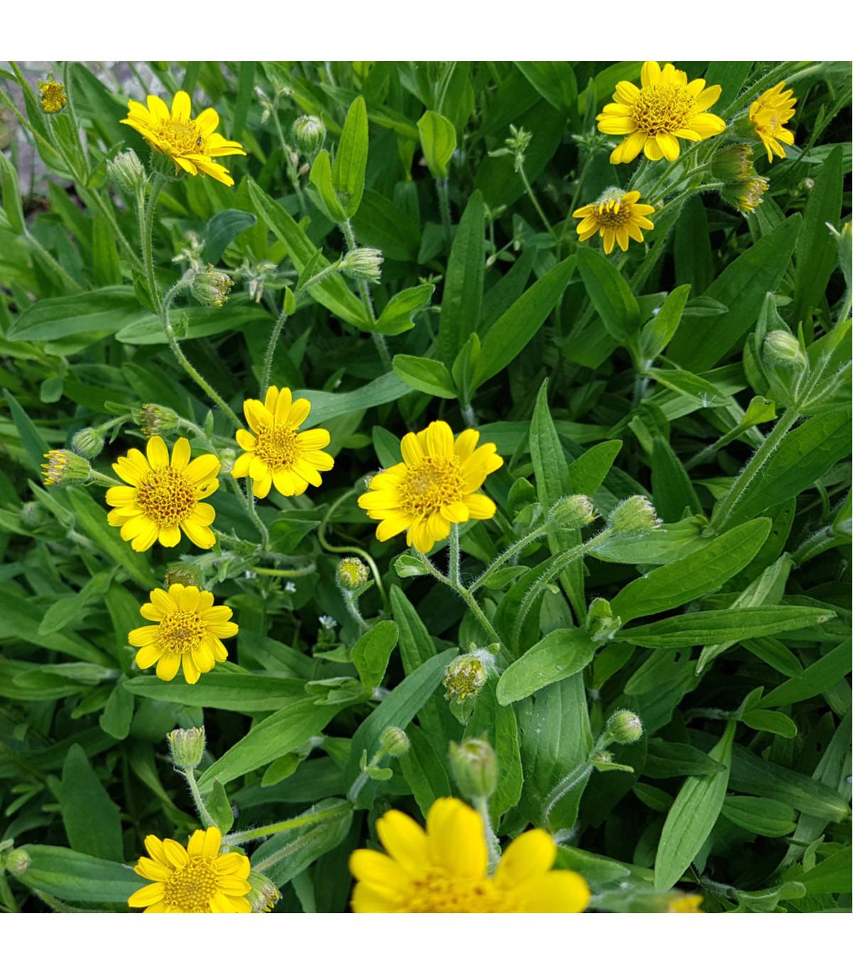 Prha léčivá - Arnika léčivá - Arnica chamissonis - prodej semen léčivek - 13 ks