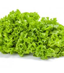 Salát kadeřavý letní - Lactuca sativa - prodej semen salátu - 450 ks