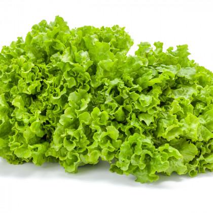 Salát kadeřavý letní - Lactusa sativa - prodej semen salátu - 0,5 gr