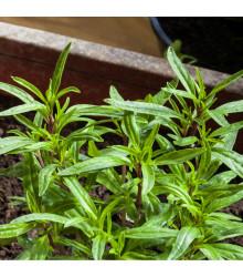 More about Saturejka - Satureja hortensis - semena saturejky - 300 ks