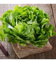 Salát ledový Saladin - Lactusa sativa - semena salátu ledového - 0,2 g