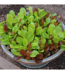 Salát na balkón Baby leaf - Lactuca sativa - osivo salátu - 100 ks
