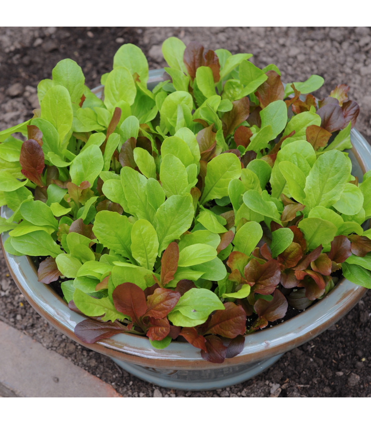 Salát na balkón - Baby leaf  - Lactuca sativa - semena salátu 100 ks