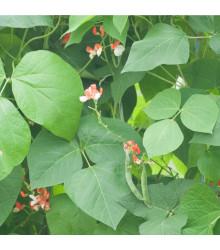 Fazol šarlatový pnoucí Hestia - Phaseolus coccineus - osivo fazolu - 10 ks