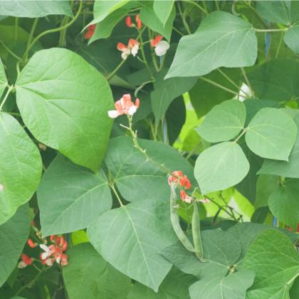 Fazol šarlatový pnoucí Hestia - prodej semen fazole - 10 ks