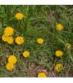 Pampeliška - Smetánka lékařská - Taraxacum ruderalia - prodej semen - 0,3 gr