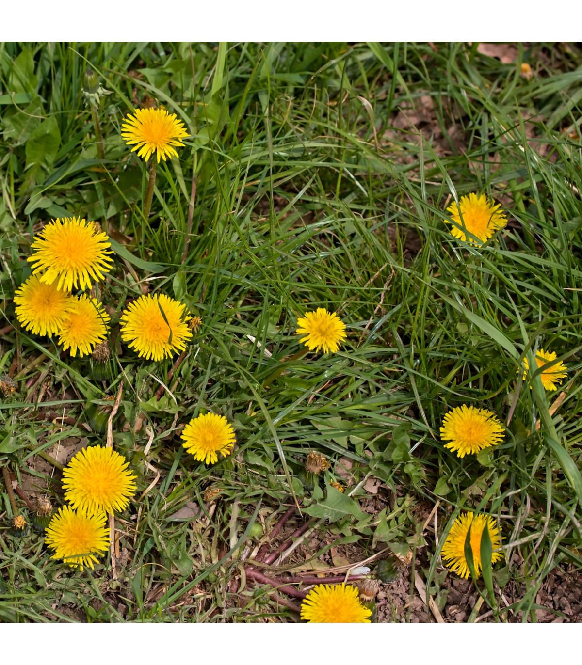 Pampeliška - Smetánka lékařská - Taraxacum ruderalia - prodej semen - 0,3 g