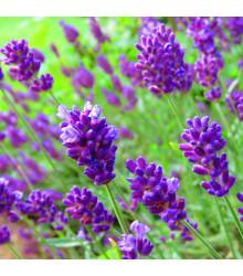 Levandule lékařská fialová Ellegance purple - Lavandula angustifolia - osivo levandule - 15 ks