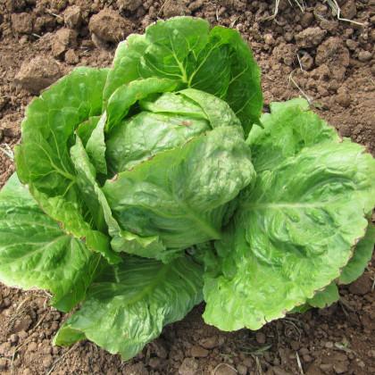 Salát hlávkový letní - Kagraner - semena salátu - 300 ks