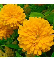 Měsíček lékařský žlutý - Calendula officinalis - semena měsíčku - 30 ks