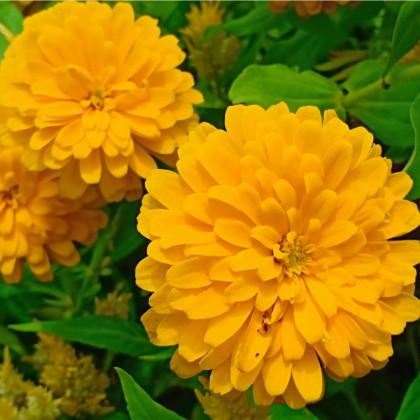 Měsíček lékařský žlutý - rostlina Calendula officinalis - semena měsíčku - 30 ks
