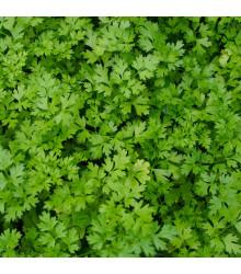 Koriandr setý Cadiz - Coriandrum sativum - semena koriandru - 100 ks