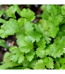 Koriandr - Coriandrum sativum - semena koriandru - 100 ks