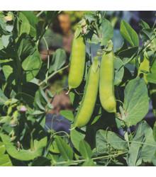 Hrách dřeňový Malý Rheinland - Pisum sativum - semena hrachu - 60 ks