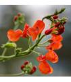 Fazol šarlatový Preis - Phaseolus coccineus - prodej semen - 2 gr