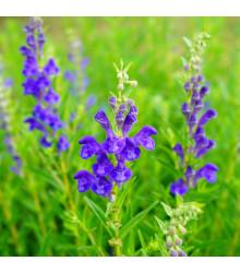 Šišák bajkalský - Scutellaria baicalensis - prodej semen léčivek - 15 Ks