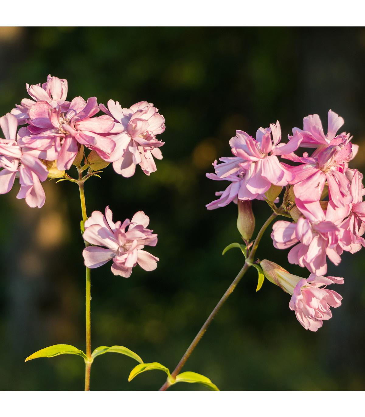 Mydlice lékařská - Saponaria officinalis - prodej semen - 15 ks