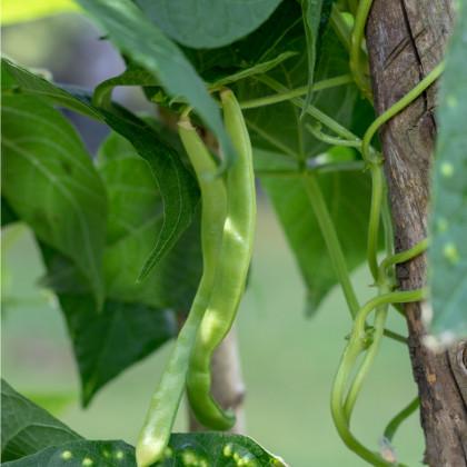 Fazol zahradní tyčkový Hilda - Phaseolus vulgaris L. - prodej semen fazole - 10 gr