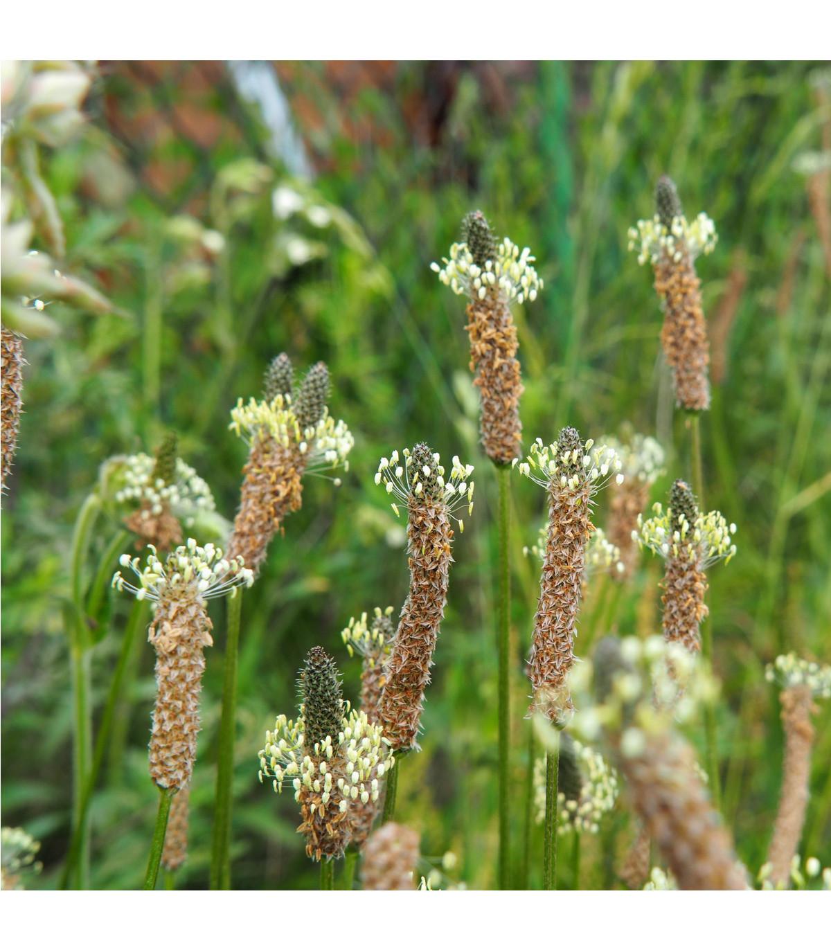 Jitrocel kopinatý - Plantago lanceolata - prodej semen - 0,2 g