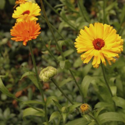 Měsíček lékařský - směs barev - Calendula officinalis - semena měsíčku - 30 ks