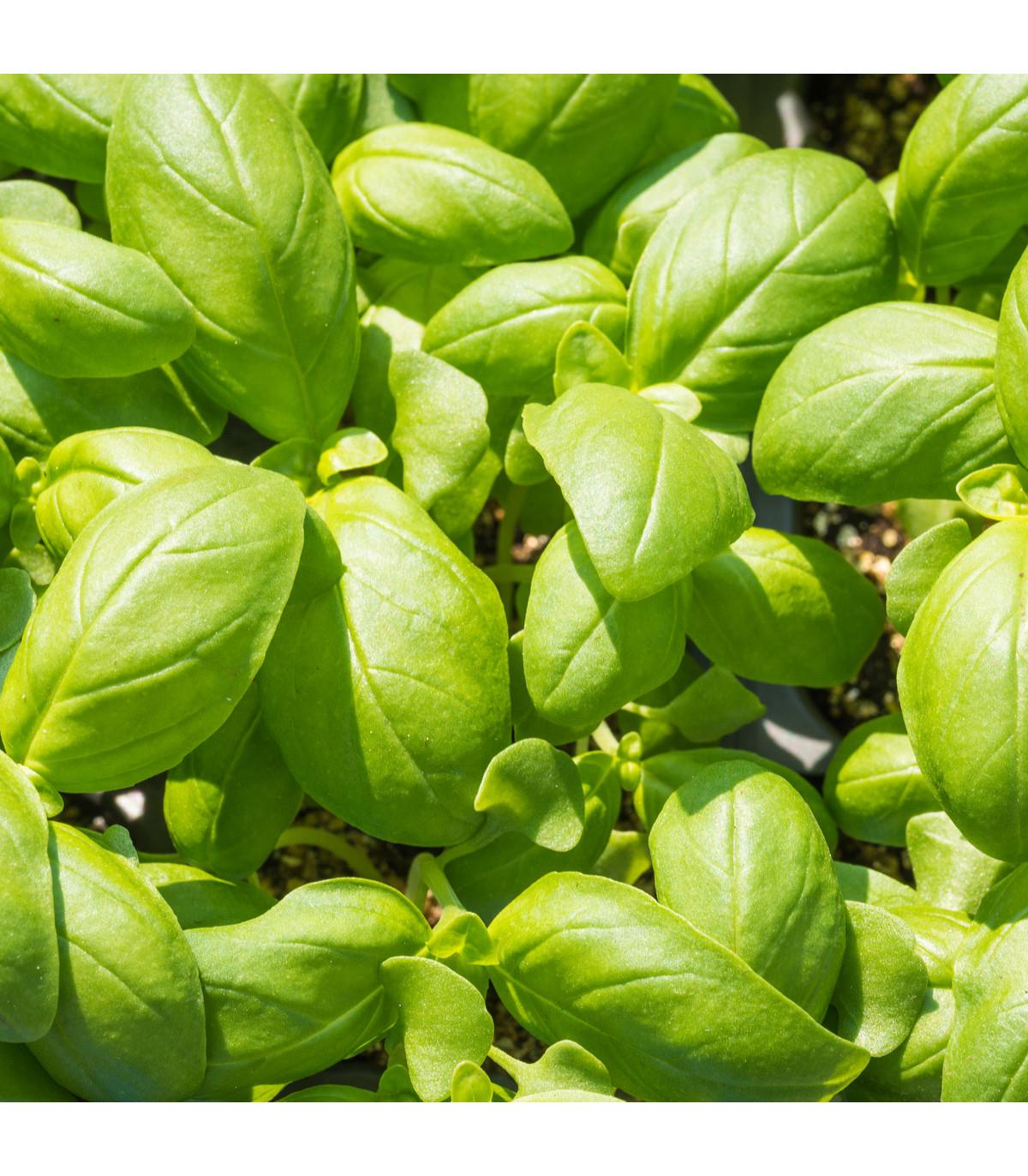 Bazalka pravá balkónová - Ocimum Basilicum - osivo bazalky - 0,3 g