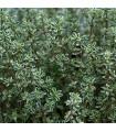 Tymián Anglická zima - Thymus vulgaris - semena tymiánu - 50 ks