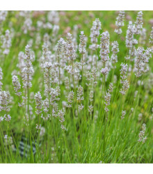 Levandule lékařská bílá Ellegance Snow - Lavandula angustifolia - semena levandule - 15 ks