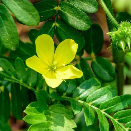 Kotvičník zemní - Tribulus terrestris - semena- 7 ks