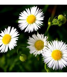 Heřmánek římský - Rmen sličný - Chamaemelum nobile - semena heřmánku - 0,1 g